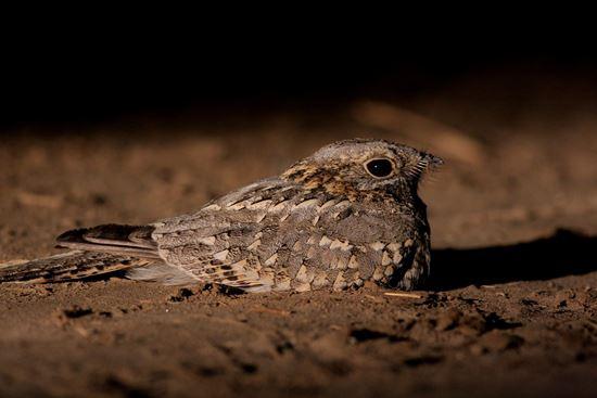 Eilat-Birds-Festival-Nubian Nightjar